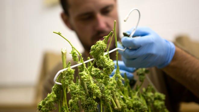 Daniel Martin trims a marijuana plant at Infinite Wellness Center medical and retail marijuana shop in Fort Collins on Monday, Sept. 8.
