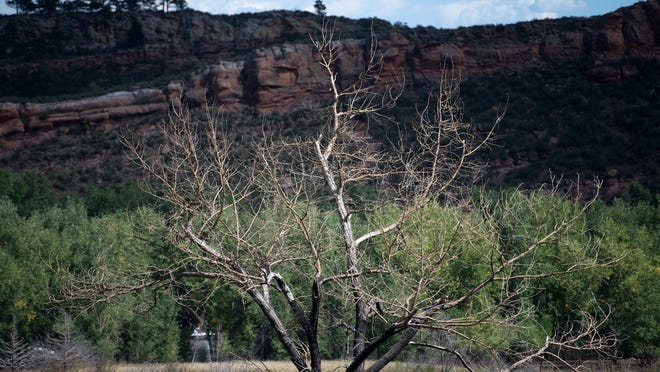 A tree burned in the 2013 Galena fire can be seen from the Well Gulch nature trail at Lory State Park Sunday, Sept. 7, 2014.