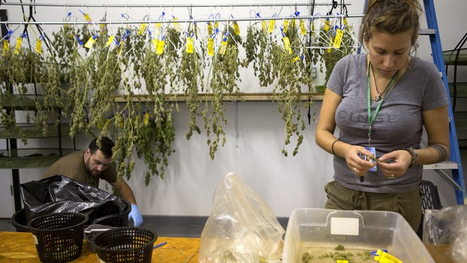 Krista Ranking trims marijuana buds at Infinite Wellness Center medical and retail marijuana shop in Fort Collins, Colo.