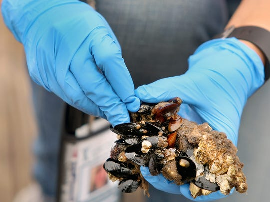 Dayna Katula examines mussels at Silverdale Waterfront