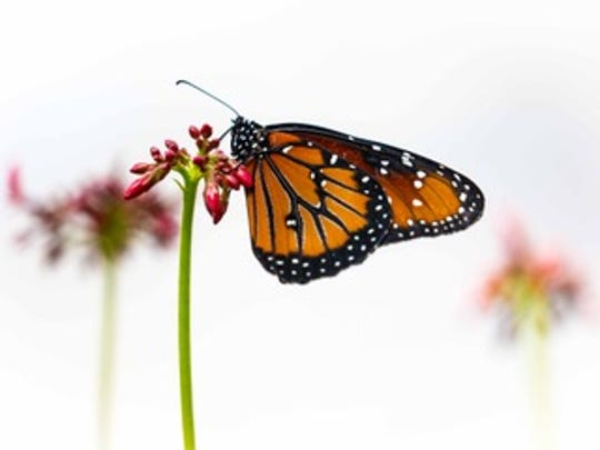 An exhibition of photographs of butterflies by Darby Donaho will be featured at the Artifacts Gallery as part of the February art walk.