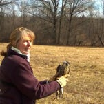 Peregrine falcon injured in Roxbury rehabbed and released (2/26/16)