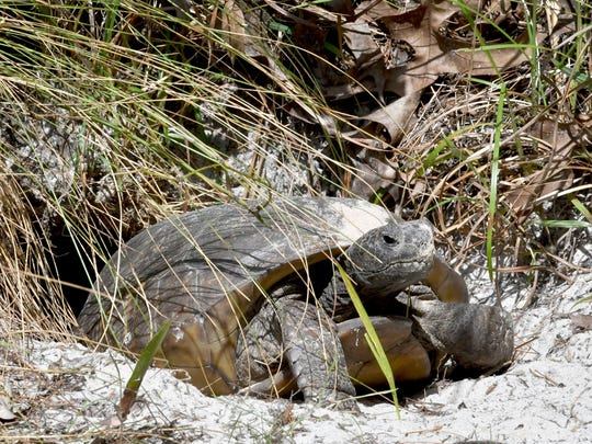 A gopher tortoise at the entrance of it's home.Turkey Creek Sanctuary is located off of Port Malabar Blvd., managed by the City of Palm Bay, the Audubon Society, and the EEL Program. The 130-acre preserve offers a nature center, canoeing and kayaking, boardwalk nature trails, and jogging paths.