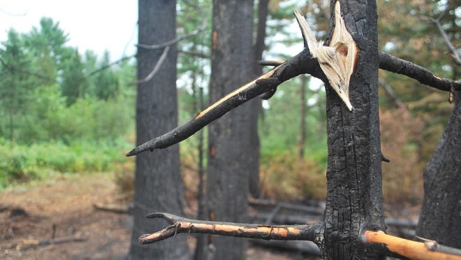 Several trees, including this one, were scorched by fire in a Friday, Aug. 7, plane crash that killed four people northwest of the Adirondack Regional Airport in Lake Clear.
