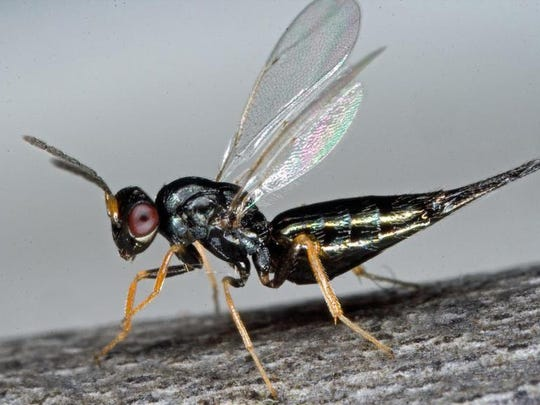An adult female Tetrastichus planipennisi. These parasitic wasps also co-evolved with emerald ash borer in China, are about the length of a sesame seed (3-4 mm long) and spend most of their lives on the bark of ash borer-infested ash trees searching for larvae developing under the bark. After locating an ash borer larva, the female drills thru the bark and lays an average of 40 eggs inside each EAB larva.
