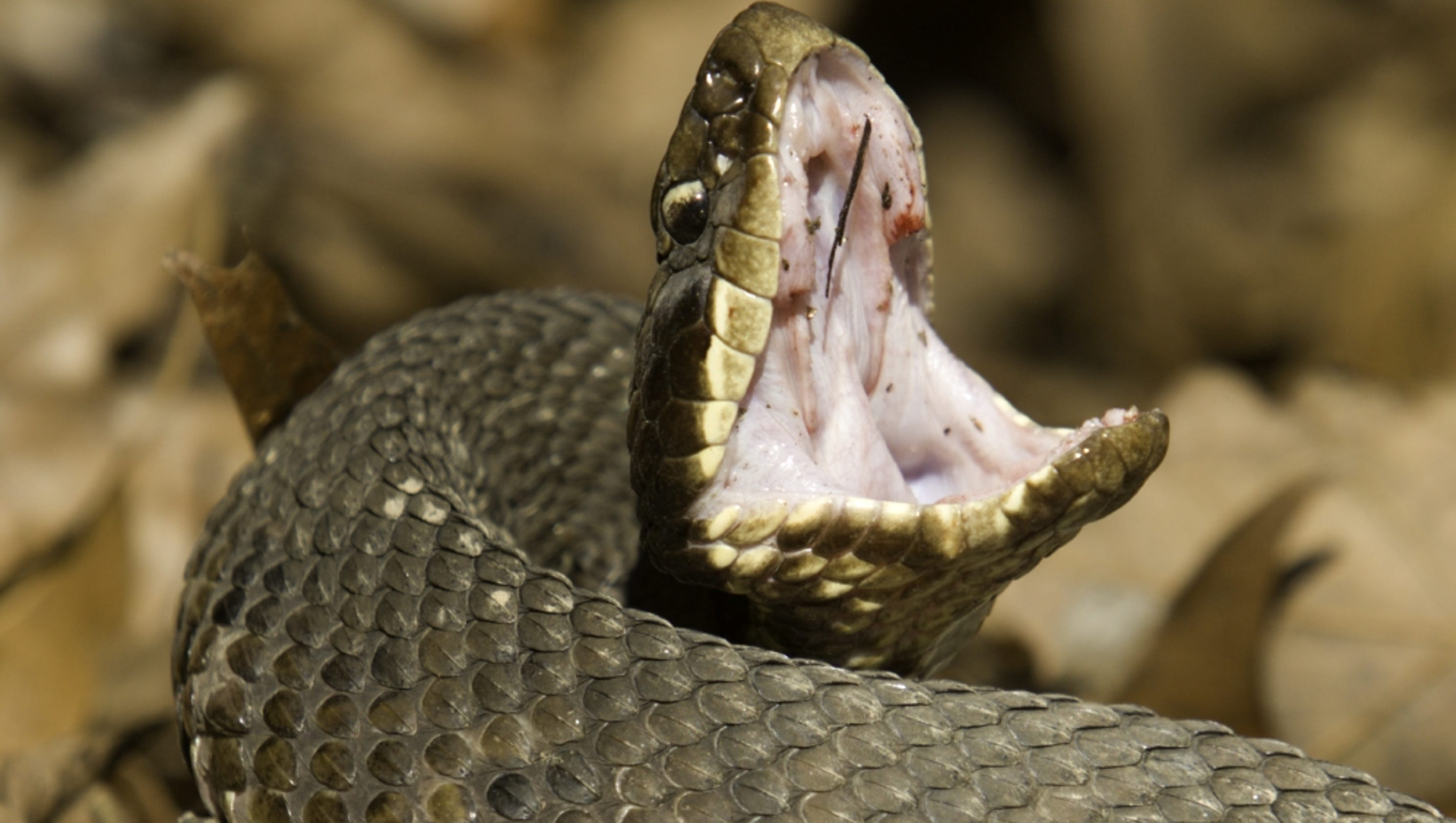 Six-year-old girl survives cottonmouth snake bite