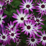 credit: Photo provided by Dick Crumcaption: Florist's cineraria is an excellent gift plant that is sure to please. The colorful flowers above the dark green foliage command attention and provide joy after a long winter.