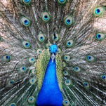 Emotional support peacock denied seat on United flight at Newark Airport