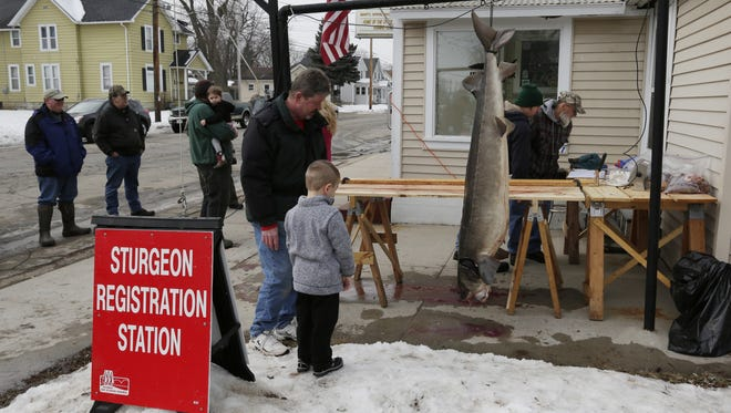 Mason Krueger registers his 146-pound, 73-inch sturgeon at Jerry's Bar in Oshkosh. He harvested the fish on opening day.