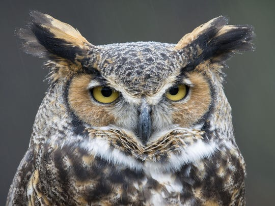 Go on an evening Owl Prowl event Feb. 8 at the Springfield Conservation Nature Center.  ​