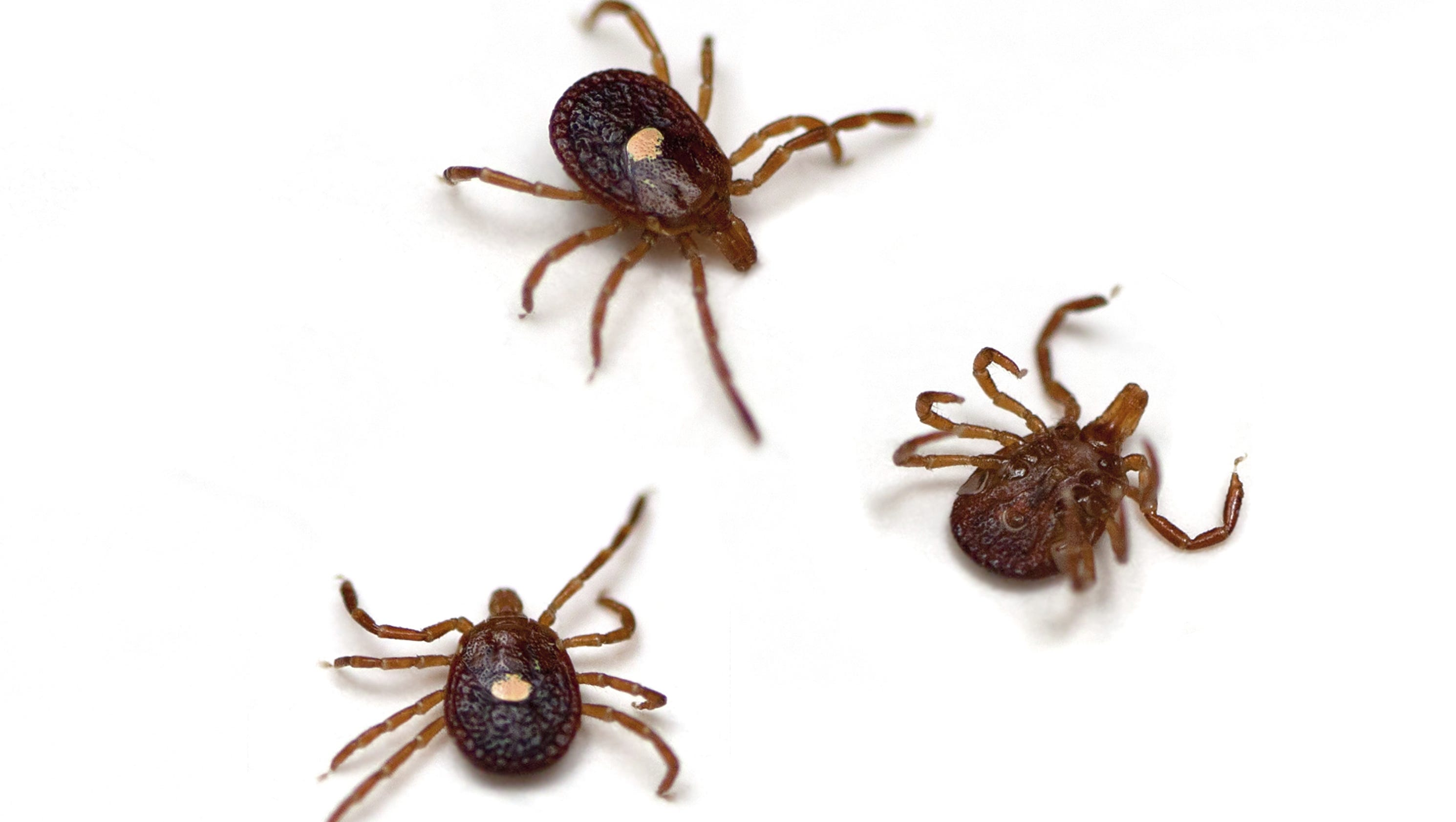 how to keep ticks off dogs