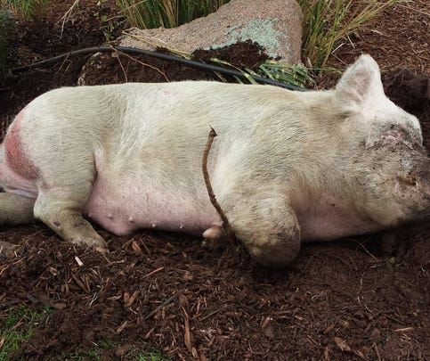 This is the pig the Weld County Sheriff's Office is trying to return to its owner after it fell out of a moving trailer on I-25 Wednesday.
