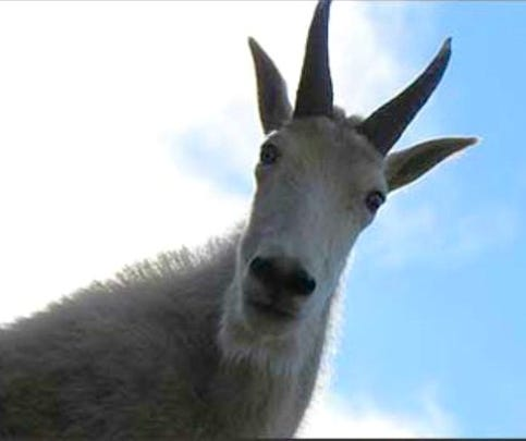 Mich. man missing while hiking in Montana counting goats
