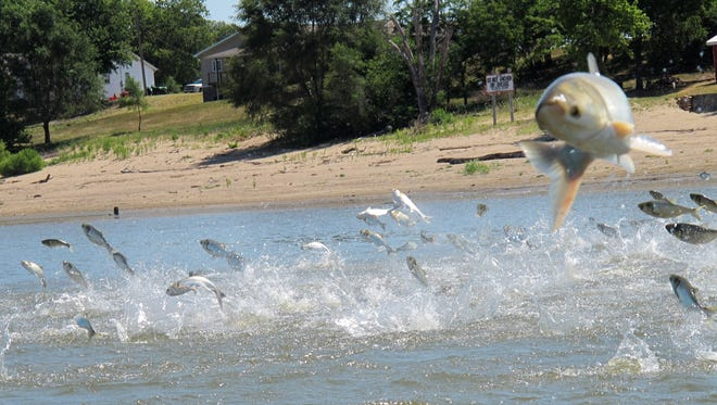 In this June 13, 2012, photo an Asian carp, jolted by an electric current from a research boat, jump from the Illinois River near Havana, Ill., during a study on the fish's population.