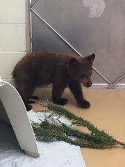 A bear cub found on his own near Ojai likely will be