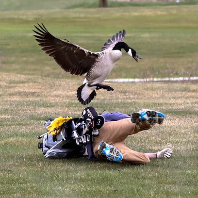 Michigan golfer attacked by goose opens up: 'I started sprinting'