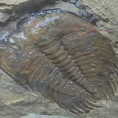 An Olenellus trilobite from the Cityview Community
