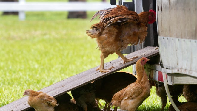 Rosy Tomorrows Heritage Farm in North Fort Myers raises organic chickens, pigs and cows.