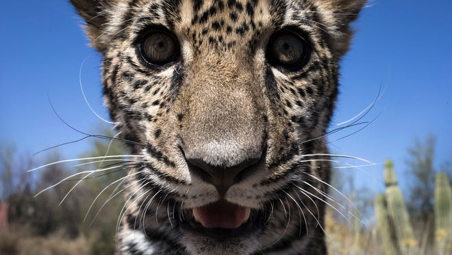 Tutu'uli, a 6-month-old female jaguar at the Ecological Center of Sonora in Hermosillo, Mexico.
