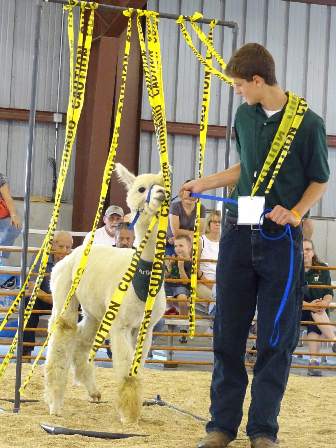 Darren Wurm, 15, coaxes his alpaca through an obstacle