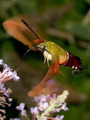 Hummingbird moths have an olive-green, plump body with a reddish brown color on part of their abdomen.