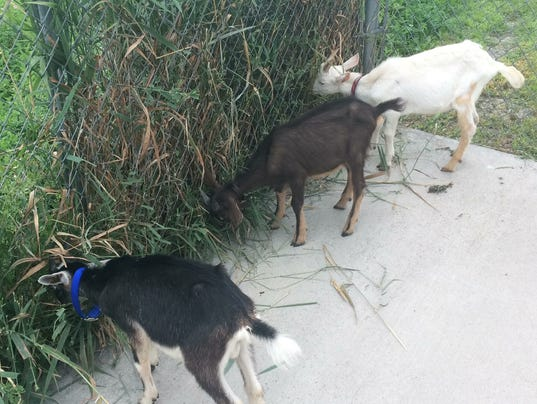 636380570306979529-OSH-Three-goats-found-NS-06.jpg