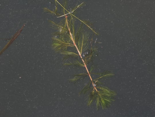Milfoil is an invasive plant but it is found in Lake