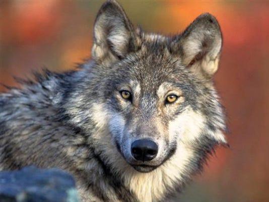 California Wolf Listi_Roem