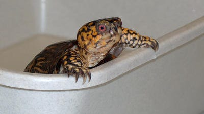 A Tennessean investigation has found the state reptile, the Eastern Box Turtle, may not be native to the state. (FILE PHOTO)