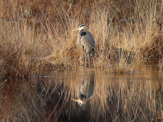 A great blue heron perches along the waters edge of the marsh at Point No Point on Saturday, Dec. 30, 2017.
