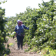 A farmworker trims grape vines in a vineyard in Clarksburg, Calif. Faith in the Valley, an interfaith nonprofit in California's Central Valley, is seeking ways legal residents and citizens can respond if massive roundups and deportations of immigrants begin.