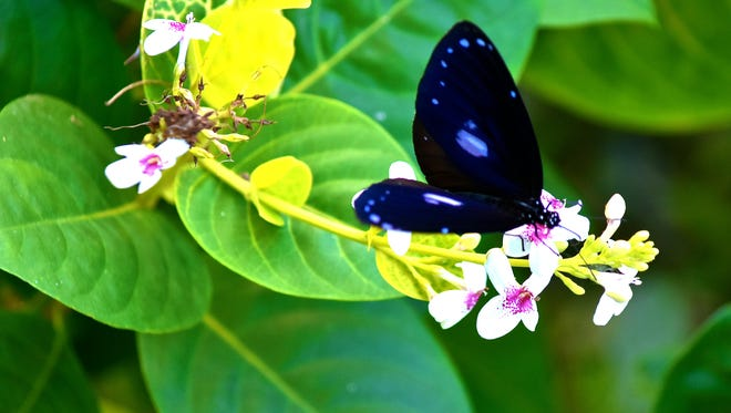 A Guam butterfly perches on a flower to eat some nectar.