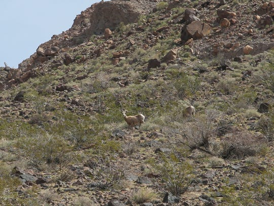 Bighorn sheep walk near a cell tower built by Interconnect Towers in the California desert off Interstate 40.
