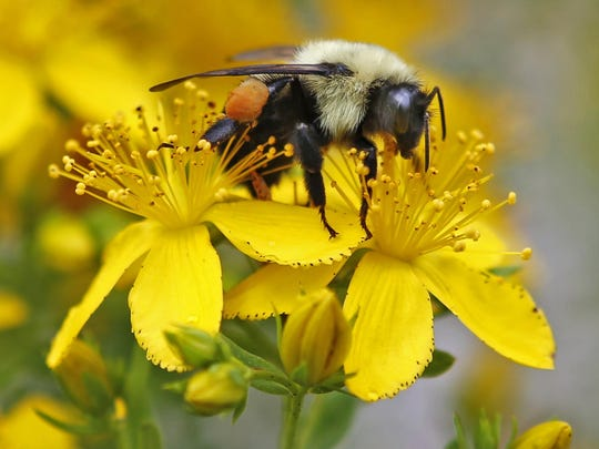 A bumblebee gathers nectar on a wildflower in Appleton,