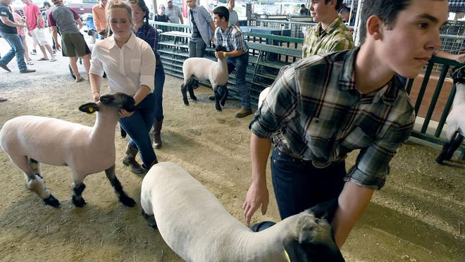 Entering the pen to show their sheep, Andy Herkimer, Paige Hunter, Cam Herkimer and Ben Herkimer prepare for the 4-H Sheep Showmanship in 2019. For the first time in its 73-year history, the Monroe County Fair will have to run on its own this year without 4-H activities and project judging taking place on the grounds.
