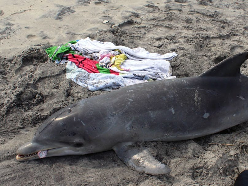 Stranded dolphin in New Jersey