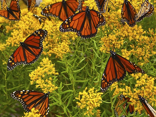 636227569107676912-monarch-butterflies-650.jpg