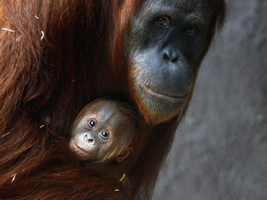 A Sumatran orangutan holds her 3-week-old baby at the