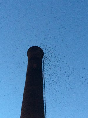 Chimney swifts, by the thousands, make their evening return Sept. 12 to an old smokestack in Farmington in which they roost overnight.