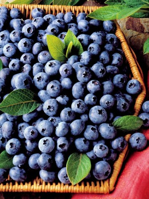 Blueberry picking continues, now at Schartner Farm in Exeter.