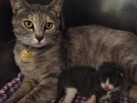 Isabella, 9 months, was one of the feral cats trapped by volunteers on the property. After she was moved to the Humane Society of North Central Arkansas, she gave birth to three kittens.
