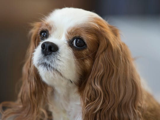 Cathy Cuni of Howell brought her King Charles Cavalier