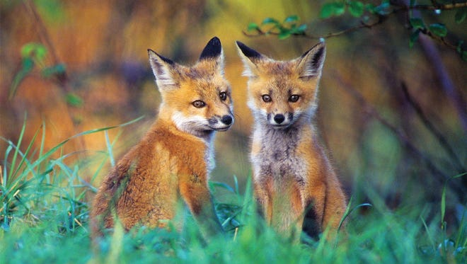 Red fox kits. The red fox is more tolerable of human neighbors than are grey foxes.