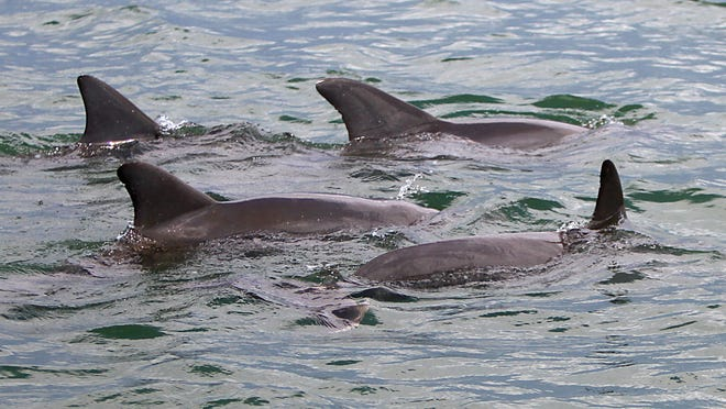 A small pod of bottlenose dolphins surfaces in Estero Bay near Fish Tale Marina on Fort Myers Beach.
