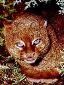 Gulf Coast jaguarundi (Puma yagouaroundi cacomitli) is a public domain photo courtesy of USFWS