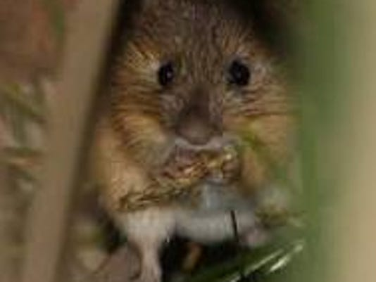 meadow-jumping-mouse