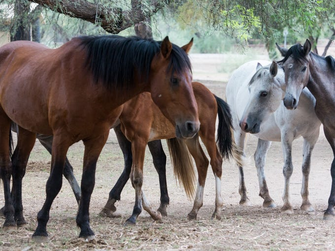 A herd of Salt River horses graze at Butcher Jones