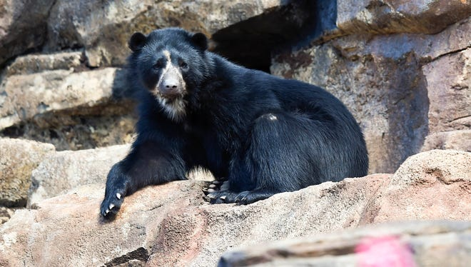 One of the three Andean Bear checks out his new home in the Peruvian Exhibit at the Nashville Zoo at Grassmere in Nashville, Tenn., Tuesday, March 13, 2018.