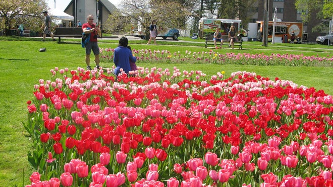 The tulips were magnificent on Saturday, May 7, 2016.
