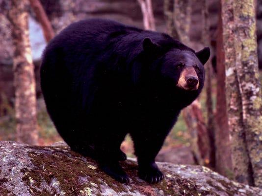 Mildred-the-Bear-by-Hugh-Morton.jpg